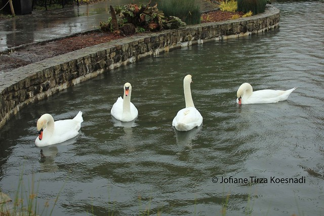 SF - Palace of Fine Arts - swans - 3