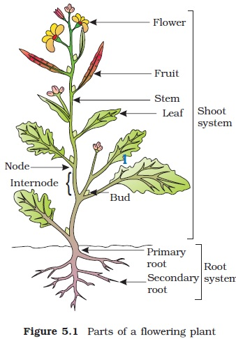 diagram of a flowering plant with label 1996 chevy s10 wiring ncert class xi biology chapter 5 morphology plants in monocotyledonous the primary root is short lived and replaced by large number roots