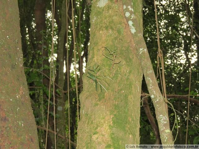 Campylocentrum aromaticum