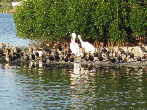White Pelicans and their cohorts