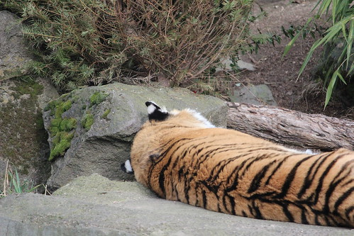 Tigers at the Oregon Zoo (2)