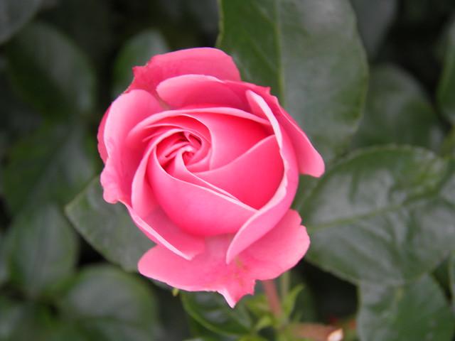 Rosa 'Leonardo da Vinci'