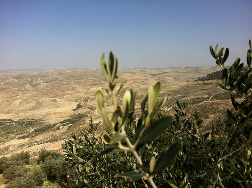 Olive trees and groves as seen from Mount Nebo, where Moses was buried (February 2013)