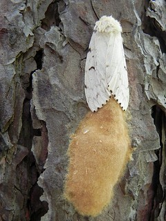 gypsy moth laying eggs