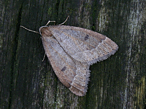 Early Moth Theria primaria Tophill Low NR, East Yorkshire Jan 2013