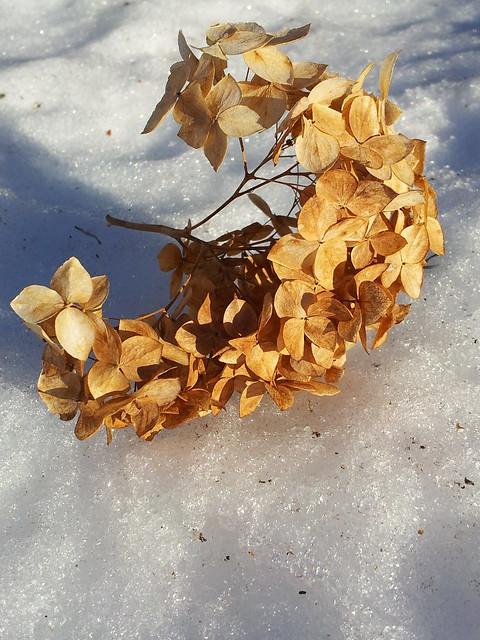 Dried Hydrangea Bloom