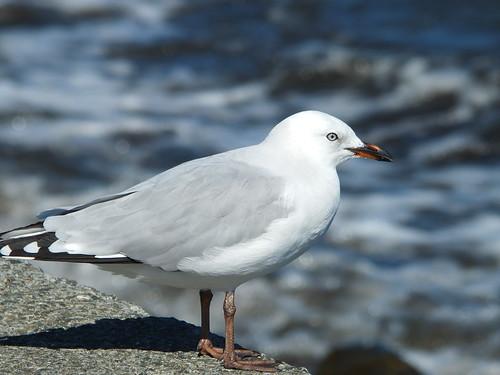 Seagull, Petone Beach_0007.jpg by Patricia Manhire