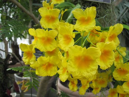 Dendrobium palebrae