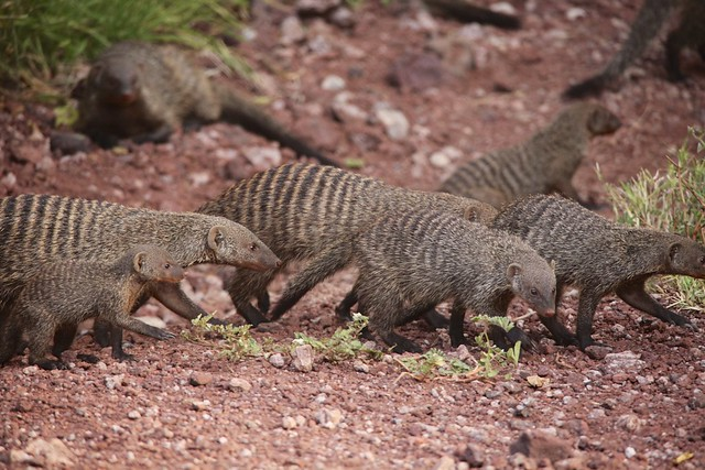 Banded mongooses (Mungos mungo) crossing the road