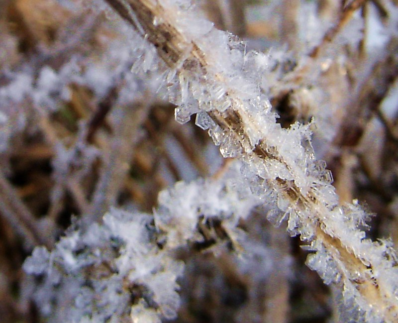 ice crystals after freezing rain on wheat stalk