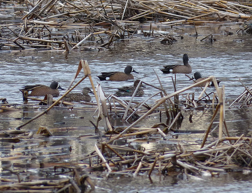 Blue-winged Teal Gang