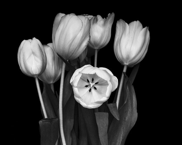 The Watch-Tulip