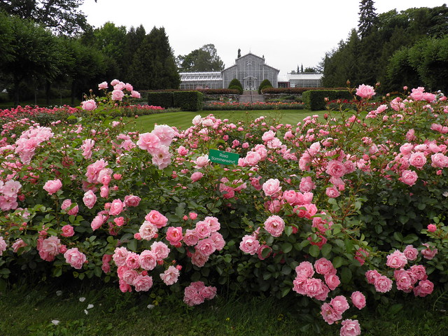 Зимний сад // Winter garden: Rosa 'Sommerwind'