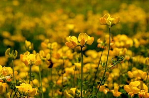 Yellow Delicious