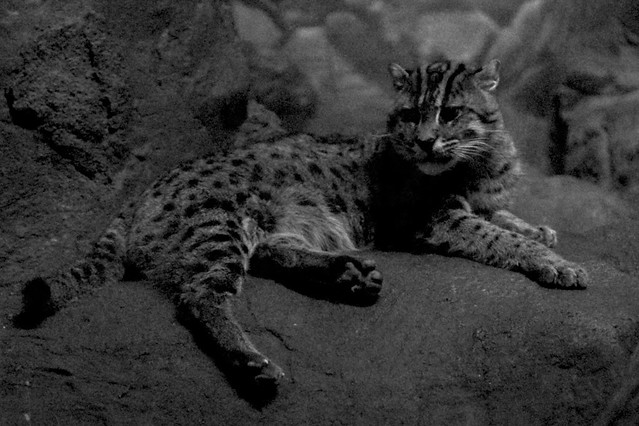 Lounging Fishing Cat