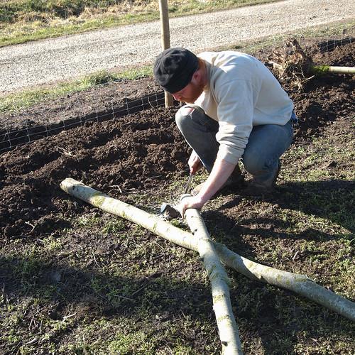 Replantation du saule : Sciage de la base en pointe