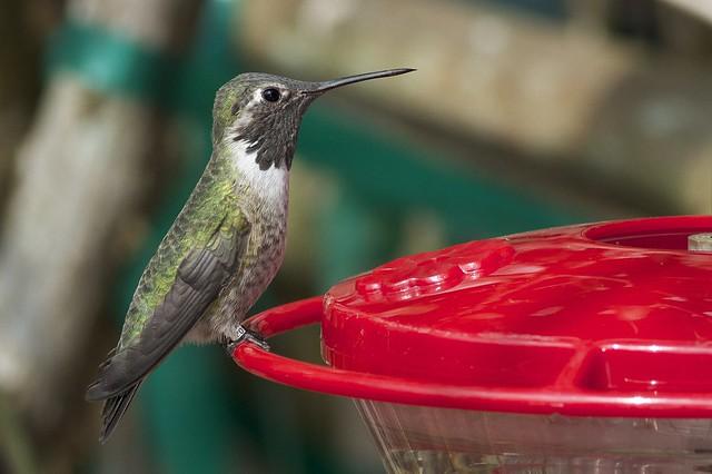 Immature male Anna's Hummingbird - Newark, DE (Photo by Tom Johnson)