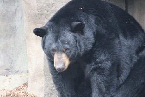 Black Bears at the Zoo (5)