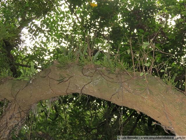 Acianthera sonderana