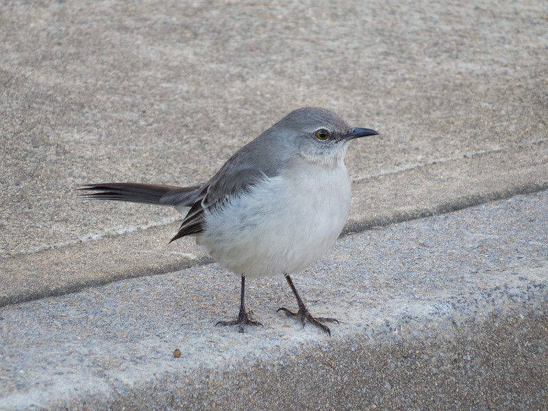 Mockingbird in Kennesaw