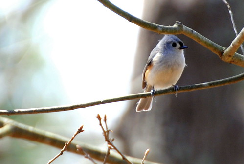 Titmouse by ambermae