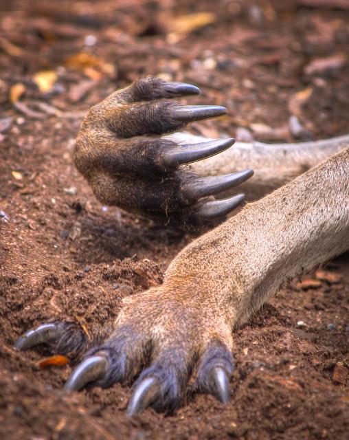 Huge claw's on a massive Male Kangaroo!