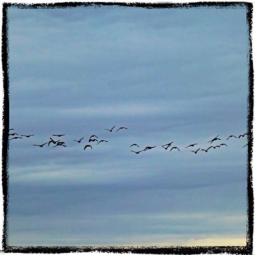Mar 19 - a sign {a sign of spring is returning geese} #fmsphotoaday #princeedwardcounty #geese