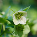 Spring Helebores at Haig Brown