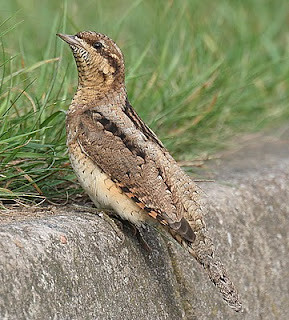 Wryneck Jynx torquilla Beacon Lane, Kilnsea, East Yorkshire August 2010