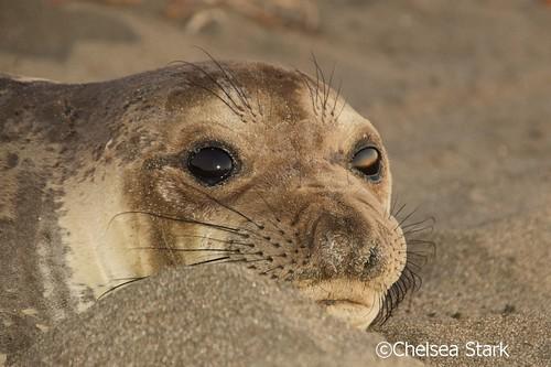 Seal  ©ChelseaStark http://www.chelseastarkphotography.com by chelseastarkphotography.com