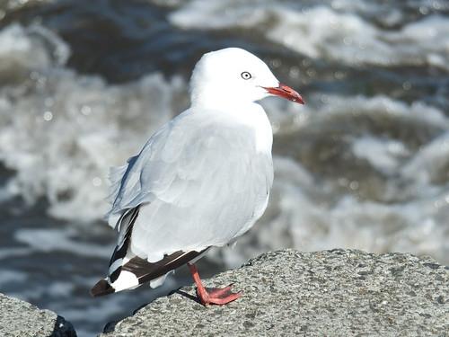 Seagull, Petone Beach_0009.jpg by Patricia Manhire