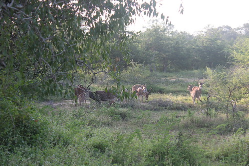 20130121_8251-Yala-sambar-deer
