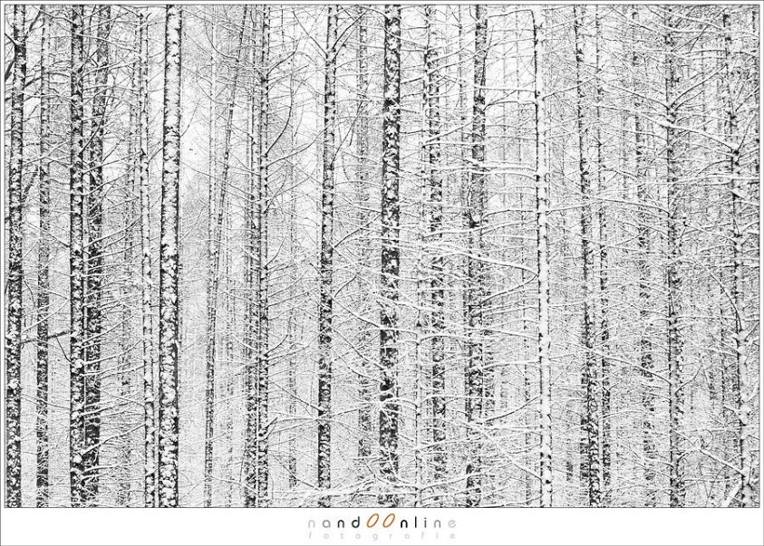 Naaldbomen in de sneeuw
