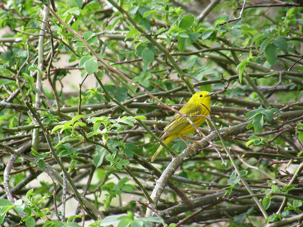 Yellow Warbler in thorny bush