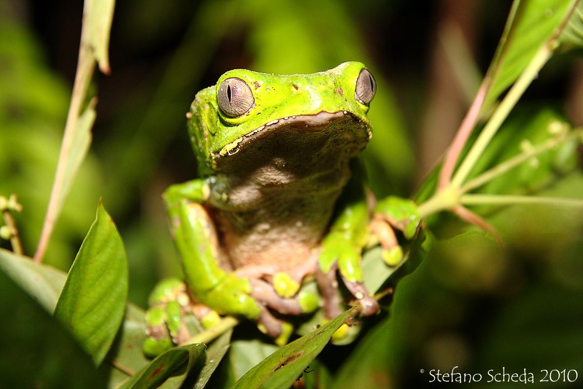 Sapo (Phyllomedusa Bicolor) - Peruvian Amazon