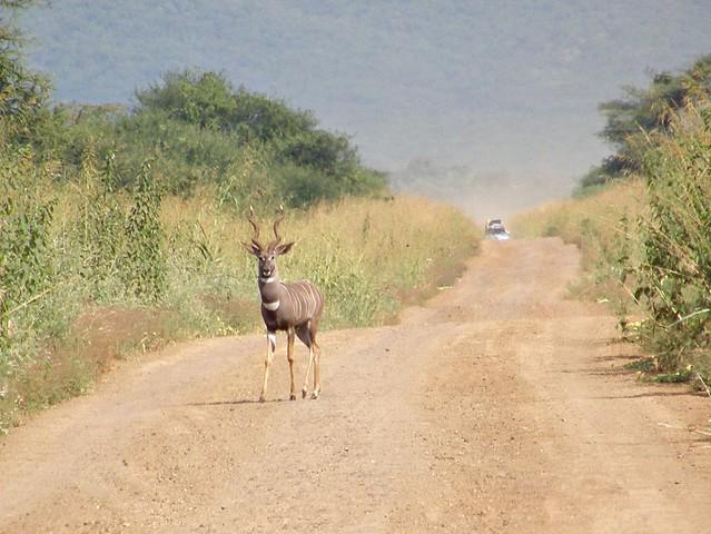 Kudu menor
