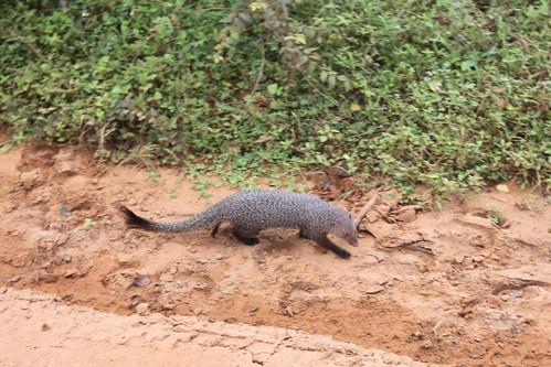 20130121_8281-Yala-safari-mongoose