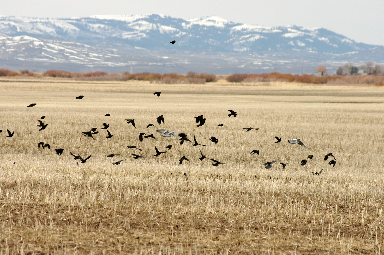 Rock Doves flocking with Red-Winged Blackbirds over a field of grain stubble