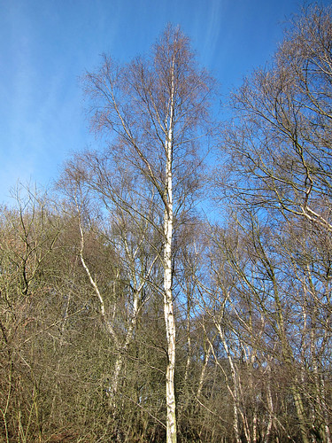 Silver birch against the sky