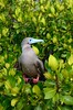 Another red footed boobie in tree