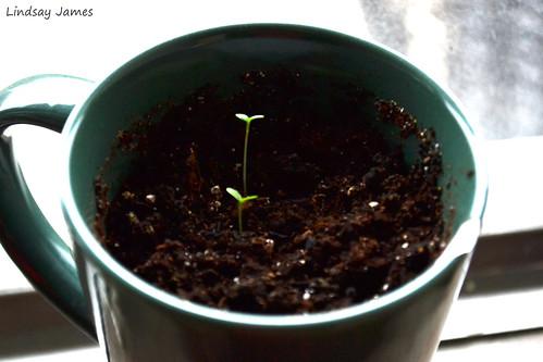 Second Pot (Teacup) of Pansies