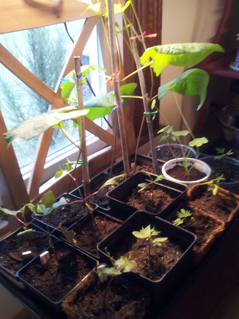 vine and runner bean seedlings 4.12.13