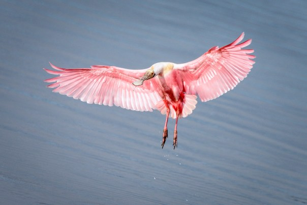 Roseate Spoonbill, landing