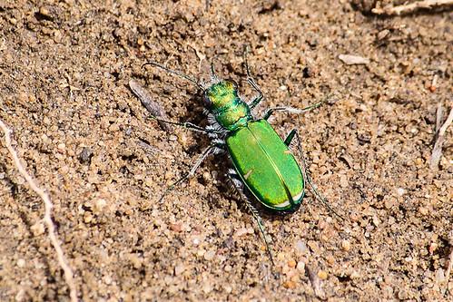 Tiger beetle (Subfamily Cicindelinae)