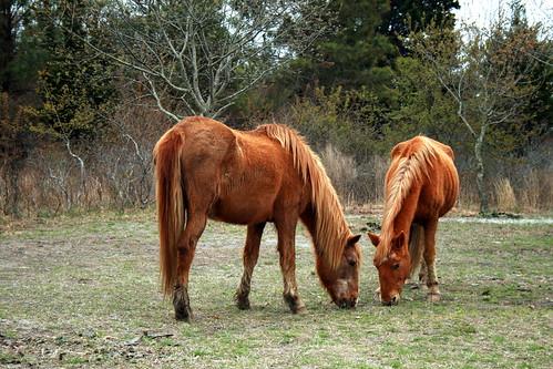 Assateague State Park - wild horses