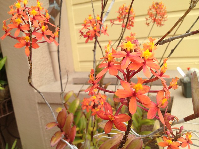 Orange orchid flowers
