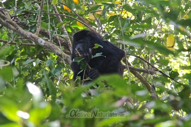 spider monkey 0000 Palenque, Chiapas, Mexico