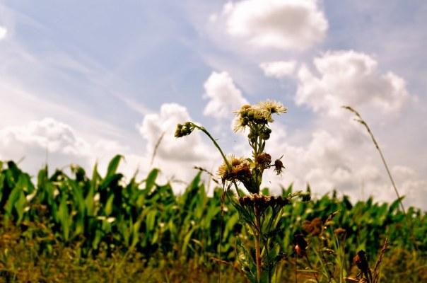 Sun Kissed Fields