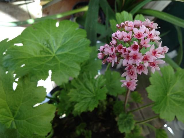 Indian rhubarb flowers