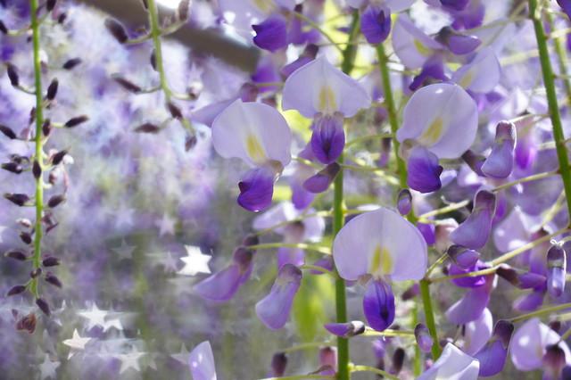 藤の花スター